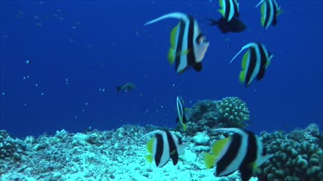 Tropical-Fish-Banner-Fish-on-Coral-Reef