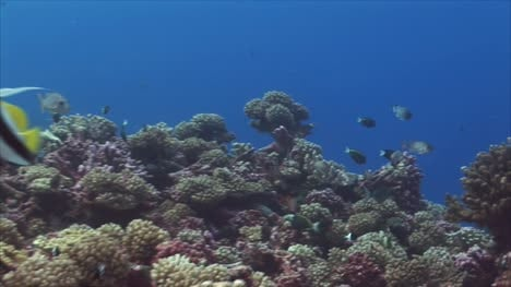 Tropical-Fish-Banner-Fish-on-Coral-Reef-2
