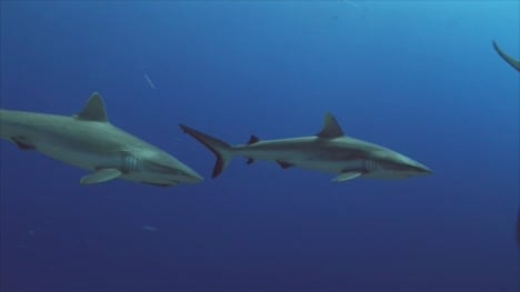 Grey-Reef-Sharks-on-a-Coral-Reef