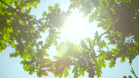 Sunlight-Through-Oak-Tree-Leaves-02