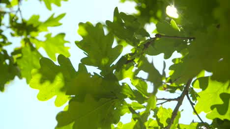 Sunlight-Through-Oak-Tree-Leaves-03