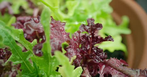 Lettuce-Leaves-Close-Up-2