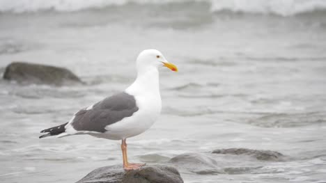 Seagull-Standing-on-Rocky-Shoreline