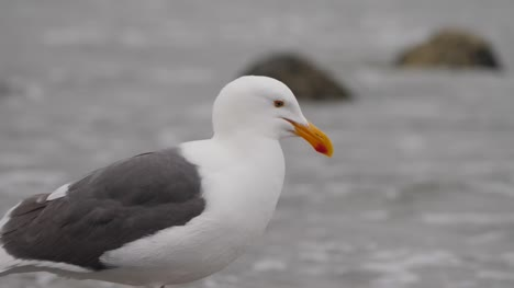 Close-Up-of-Seagull-on-Shoreline