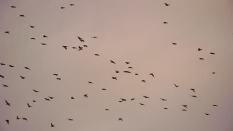 Flock-of-Starlings-at-Dusk