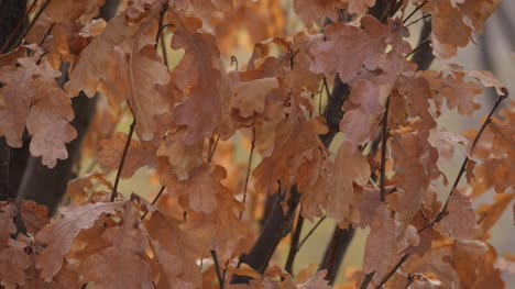 Orange-Oak-Leaves-on-a-Branch