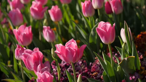 Pink-Tulips-in-the-Sunshine