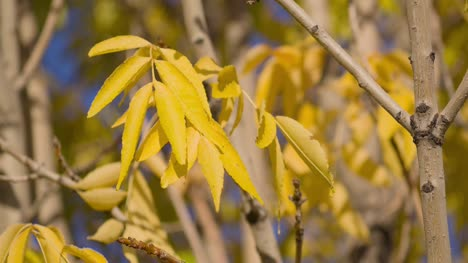 Yellow-Tree-Leaves-in-the-Breeze