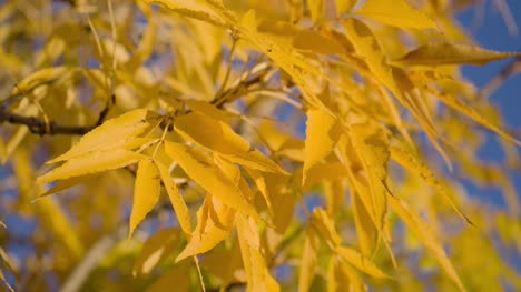 Close-Up-of-Yellow-Tree-Leaves