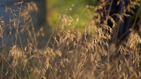 Dry-Grass-in-a-Gentle-Breeze