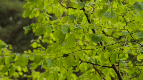 Leafy-Branches-Moving-Gently