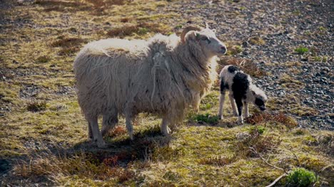 Icelandic-Sheep-and-Lamb