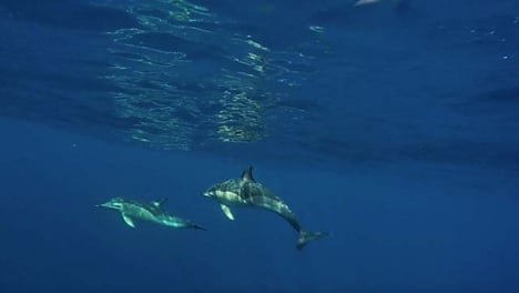 Dolphins-Swimming-in-Open-Ocean