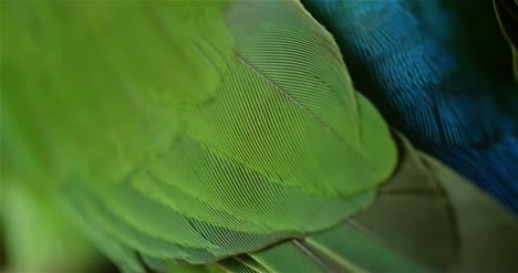 Tropical-Bird-Feathers-Close-Up-4K