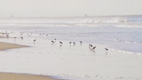 Sanderling-Birds-Feeding-on-a-Beach
