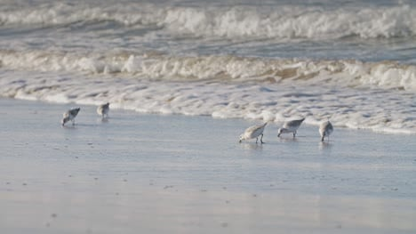 Sanderlings-Running-on-a-Beach