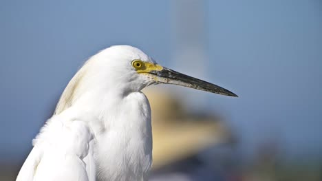 Snowy-Egret-Close-Up