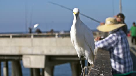 Snowy-Egret-Walking-Along-Fishing-Pier