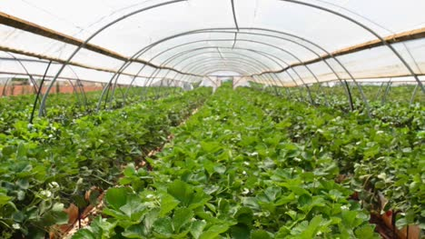 Crops-in-Irrigation-Tent