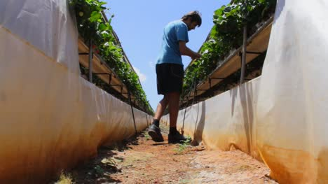Man-Tending-to-Strawberry-Crops