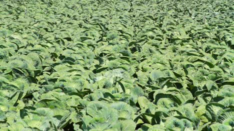 Field-of-Cabbage-Plants