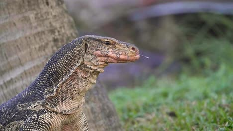 Komodo-Dragon-Sticking-Tongue-Out