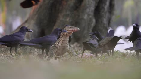 Komodo-Dragon-Surrounded-by-Crows