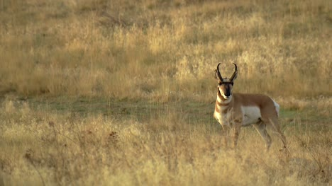 Pronghorn-Antelope-in-American-Shrubland