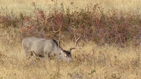 Mule-Deer-Grazing-on-Prairie
