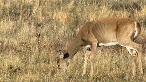 Female-White-Tailed-Deer-Grazing