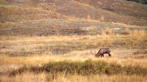 Elk-Bugling-in-North-American-Prairie