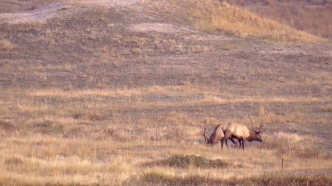 Two-Elk-in-North-American-Prairie