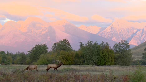 Elk-Buck-and-Doe-in-a-Valley