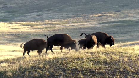 Small-Group-of-Bison-in-Grassland