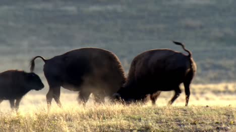 American-Bison-Pawing-the-Dirt