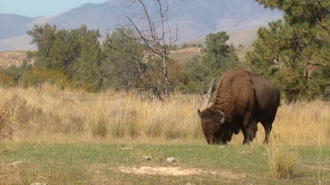 American-Bison-Grazing
