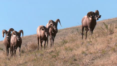 Bighorn-Sheep-on-Prairie-