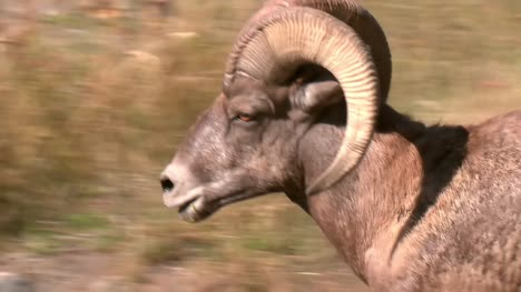 Bighorn-Sheep-Close-Up