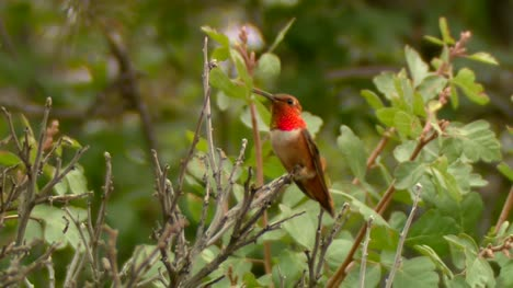 Male-Rufous-Hummingbird-on-a-Branch
