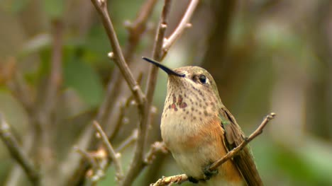 Female-Rufous-Hummingbird-on-a-Branch