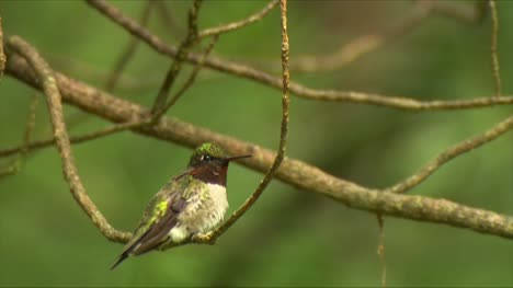 Male-Calliope-Hummingbird-on-a-Branch-01