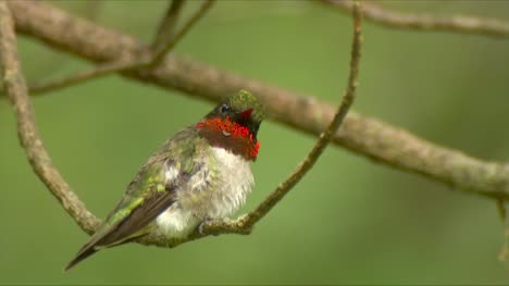 Male-Calliope-Hummingbird-on-a-Branch-02