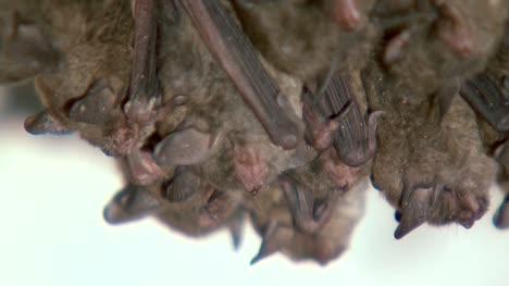 Bats-Sleeping-Upside-Down-Close-Up