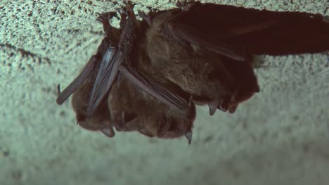 Group-of-Sleeping-Bats