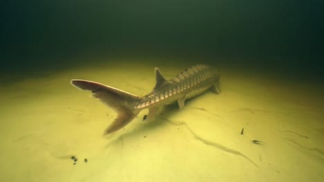 Gulf-Sturgeon-Swimming