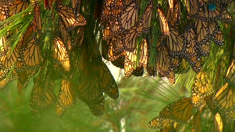 Clustered-Monarchs-With-Tags