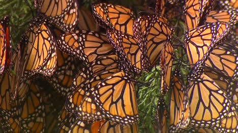 Close-Up-Of-Monarch-Butterflies