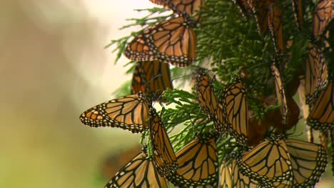 Monarch-Butterflies-On-A-Tree
