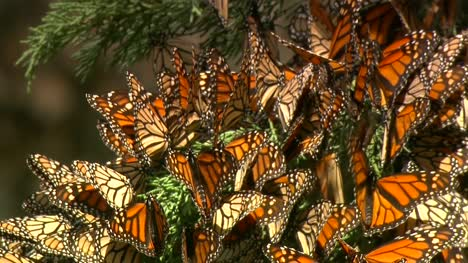 Butterflies-In-Cypress-Tree