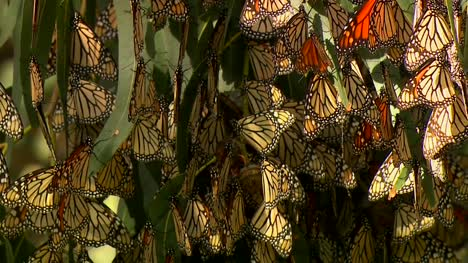 Monarch-Butterflies-In-Eucalyptus-Tree-01